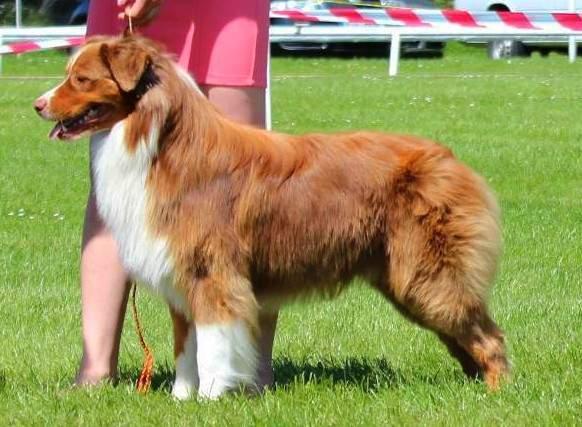 Odchov F – Australský ovčák « Haliba – Chovatelská stanice psů